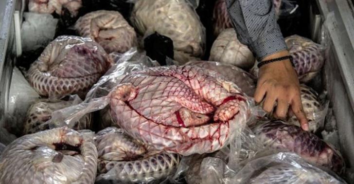 Une saisie de viande de pangolin congelée, en Indonésie AFP